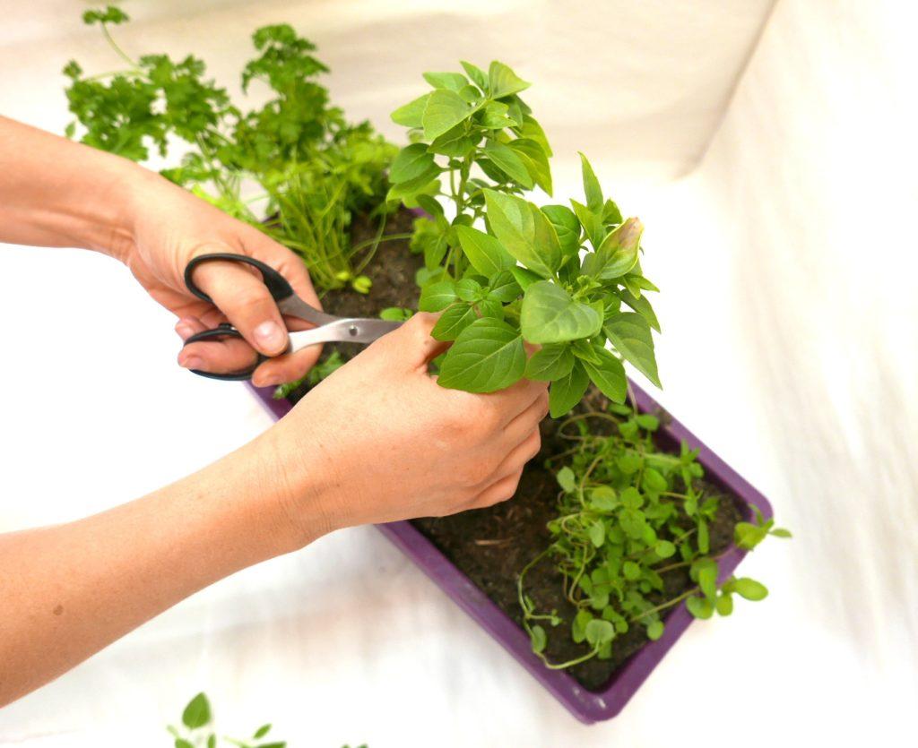 jardiner en ville - plantes aromatiques - conseils jardin