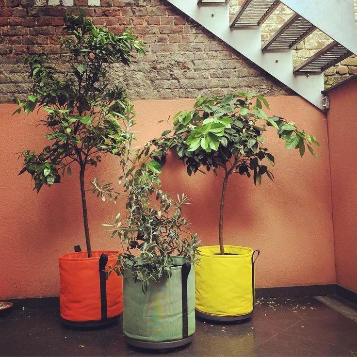 fruitiers-balcon-agrumes-arbustes-cerisier-fruit-terrasse-jardiner-ville