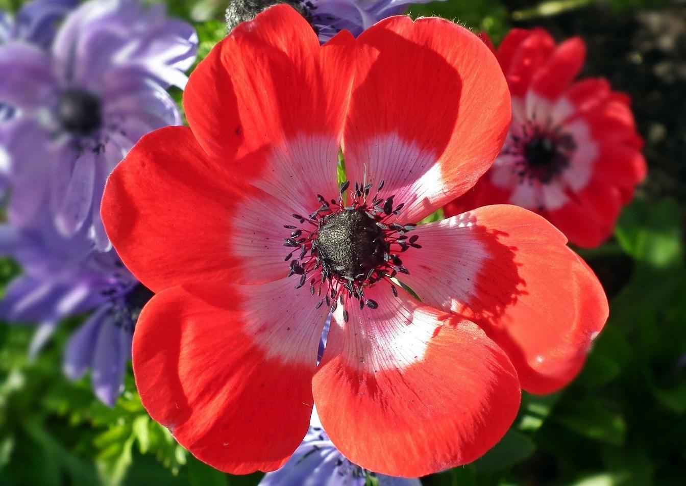 printemps-bulbe-plantes-jardiner-balcon-terrasse-anémone