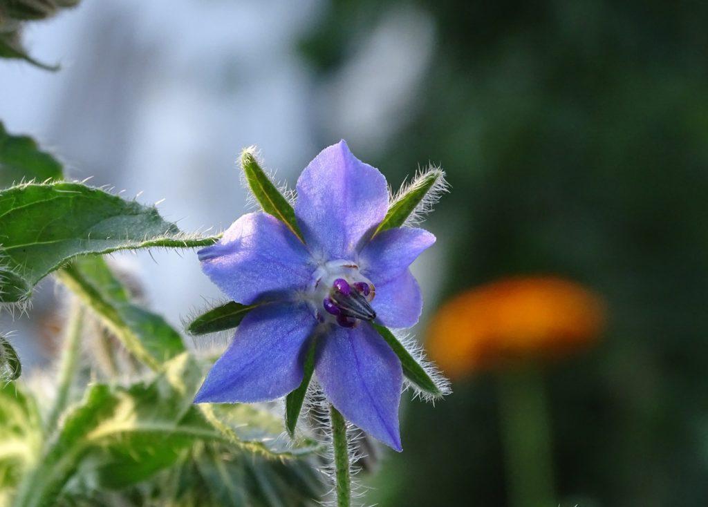 Bourrache-fleur-fleurs-balcon-comestible-terrasse