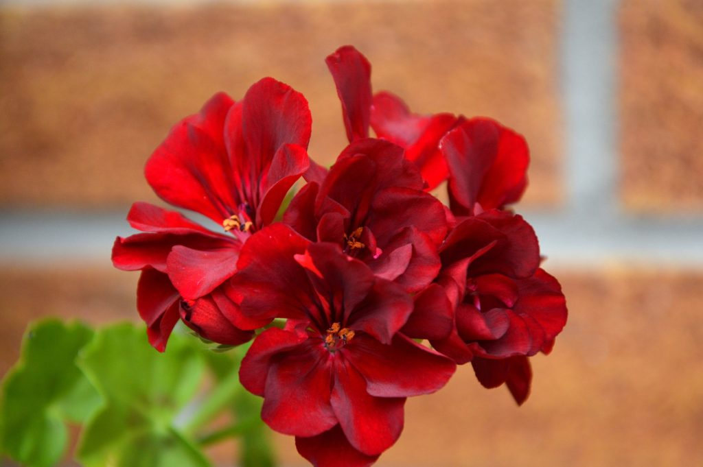 Fleur-comestible-rouge-terrasse-balcon