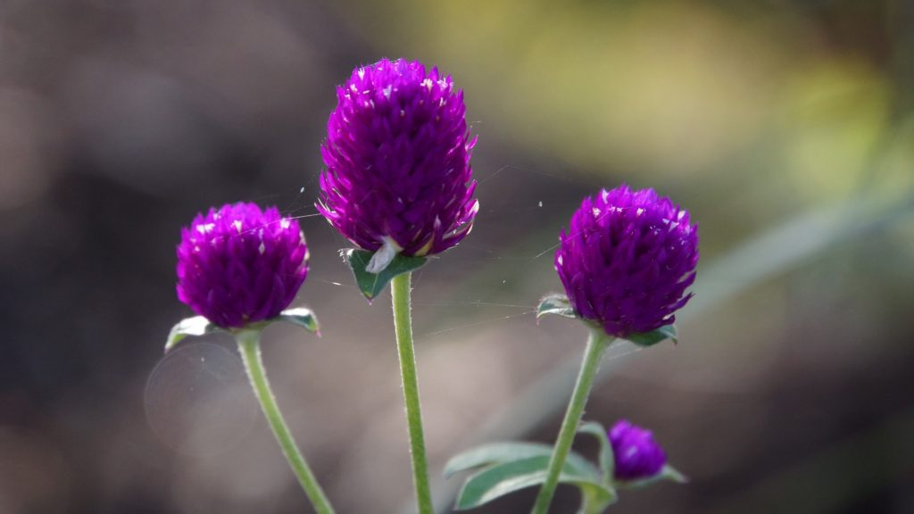 fleur-comestible-violet-jardin