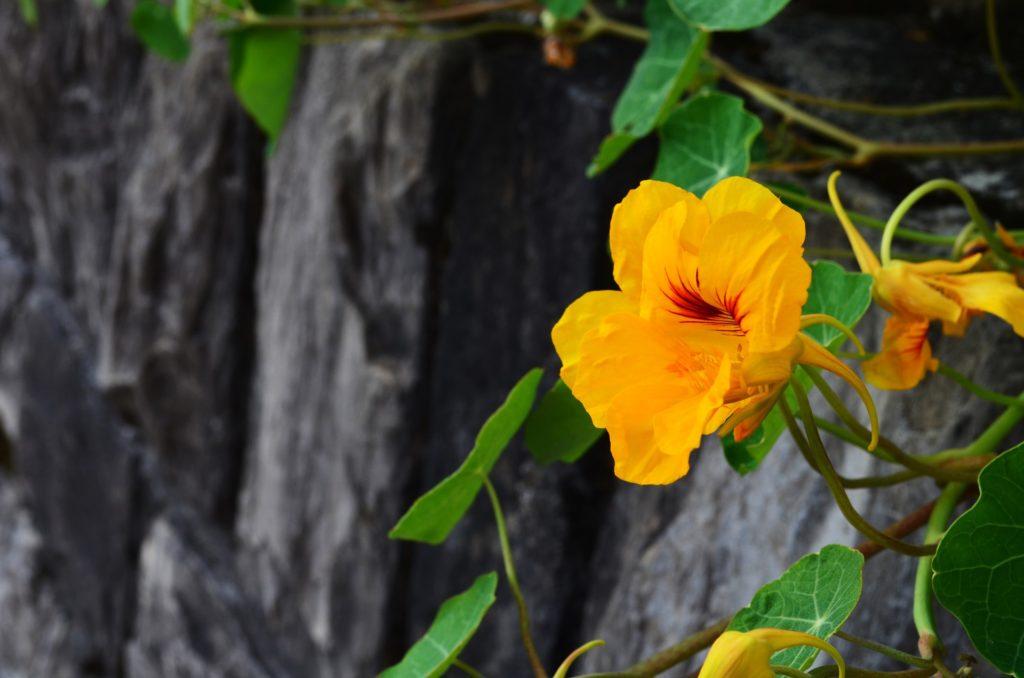 fleur-comestible-rouge-jaune-terrasse-balcon