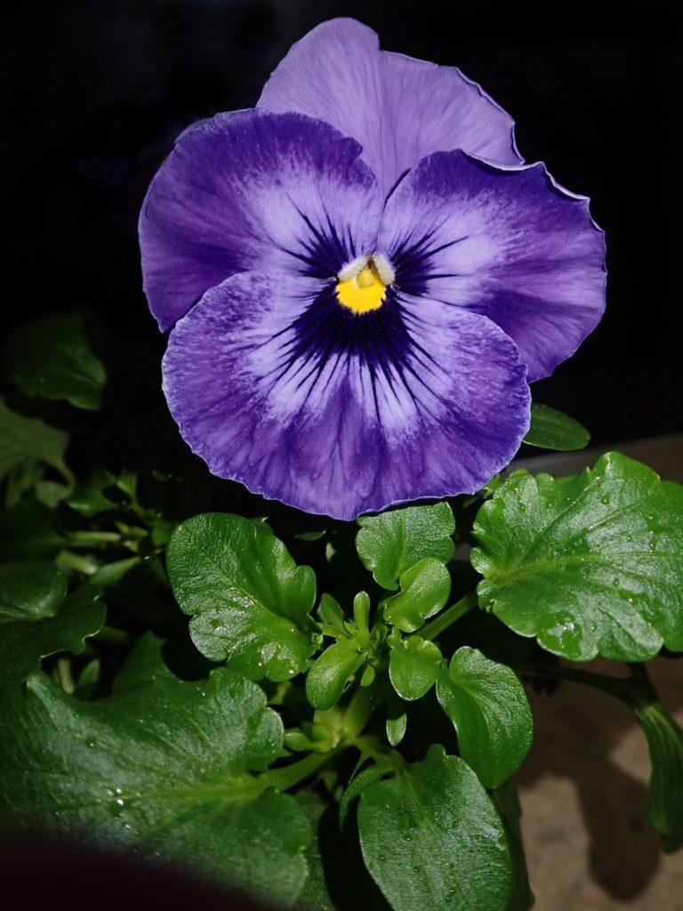 Fleur-comestible-terrasse-violet
