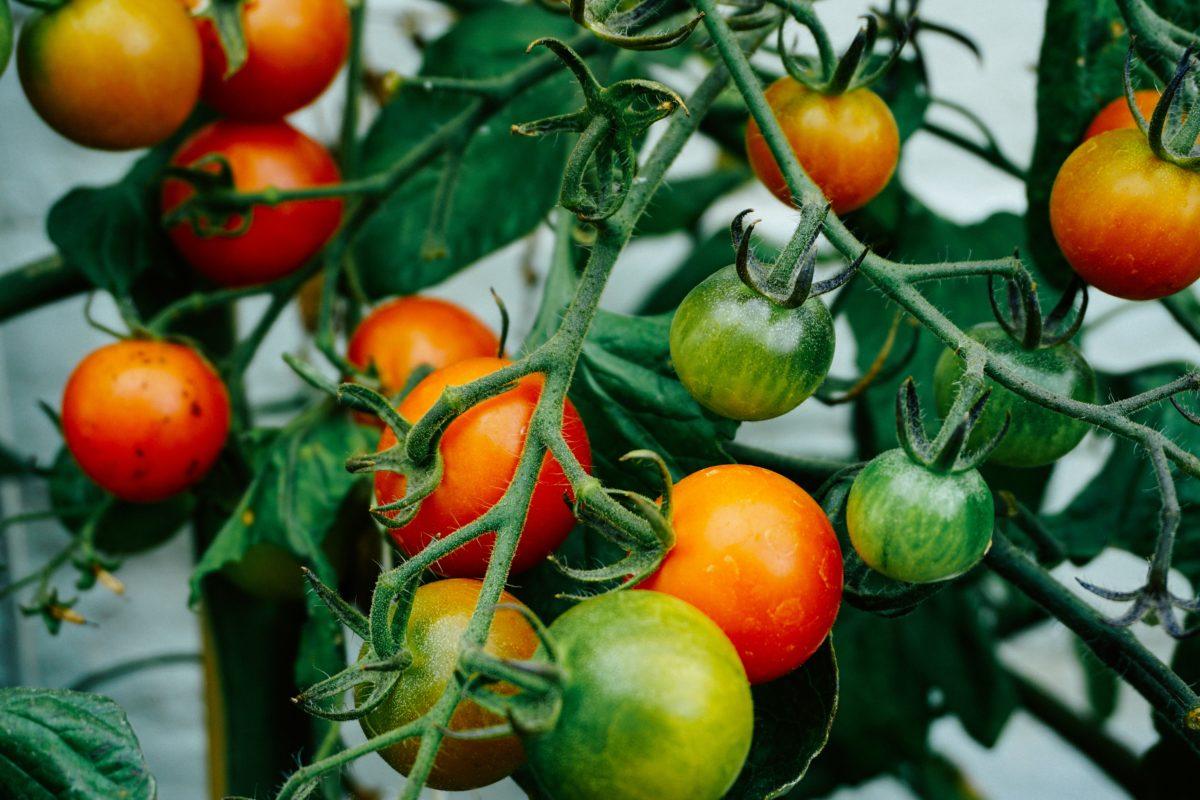 le cul noir de la tomate