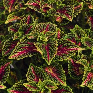 coleus stained glassworks space cake