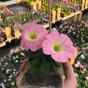 pétunia baby pink