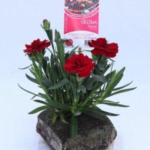 dianthus oscar rouge