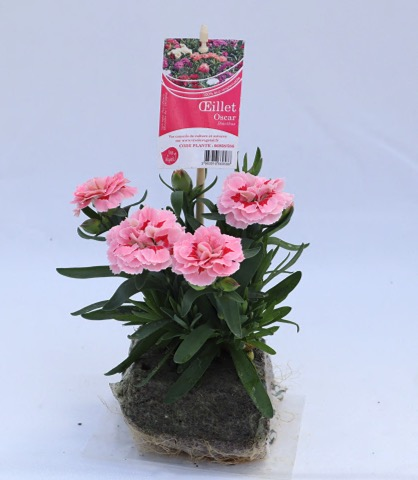 dianthus oscar rose