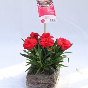 dianthus oscar rouge clair
