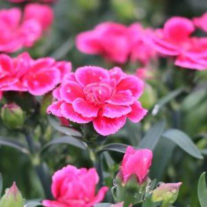 dianthus oscar rose et violet