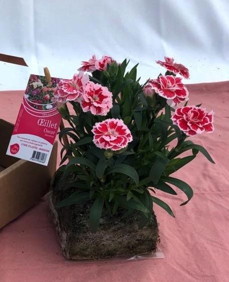 dianthus oscar rouge et rose