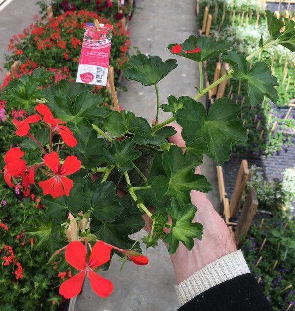 geranium rouge lierre simple