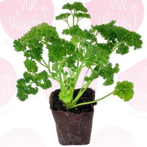 plant de persil frisé en pot biodégradable de 10cm