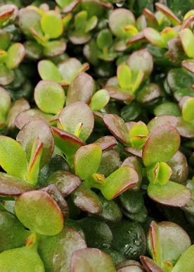 Succulentes Crassula minor