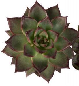 Succulentes Echeveria agavoides