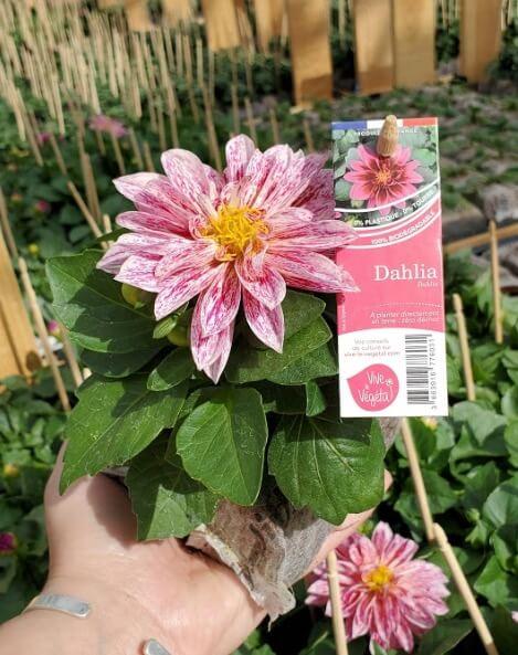 dahlia rose et blanc