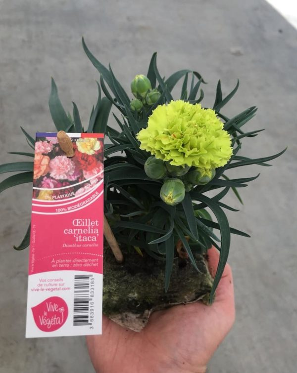 dianthus carnelia vert itaca