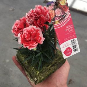 dianthus carnelia rouge java