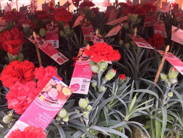 dianthus carnelia rouge kazan