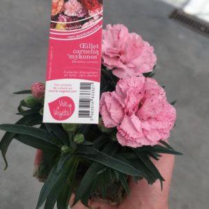 diantus carnelia rose mykonos