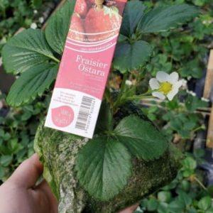 fraisier ostara