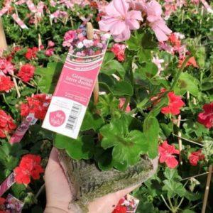geranium rose lierre double