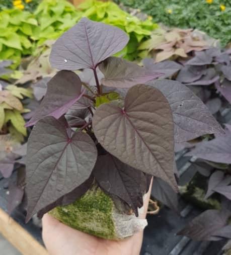 ipomée violette sombre