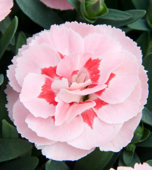 "Dianthus Oscar ""Pink Star"""