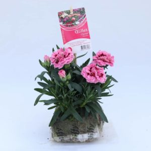 dianthus oscar rose et bordeaux