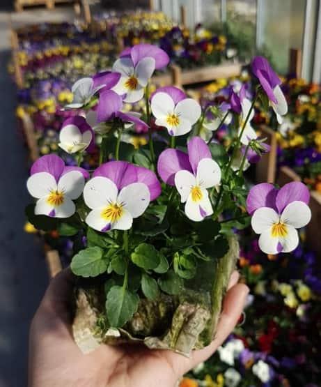 viola cornuta blanche et violette