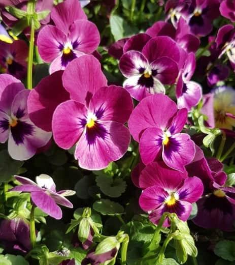 viola cornuta violette