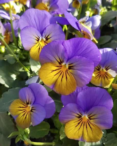 viola cornuta jaune et violette