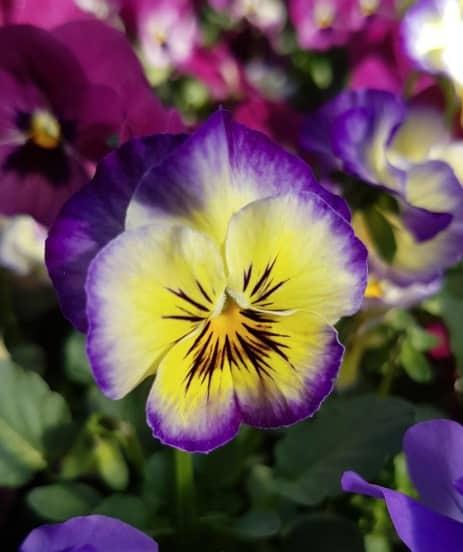 violat cornuta jaune et violette
