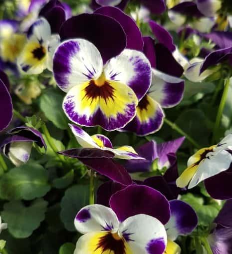 violat cornuta blanche jaune et violette