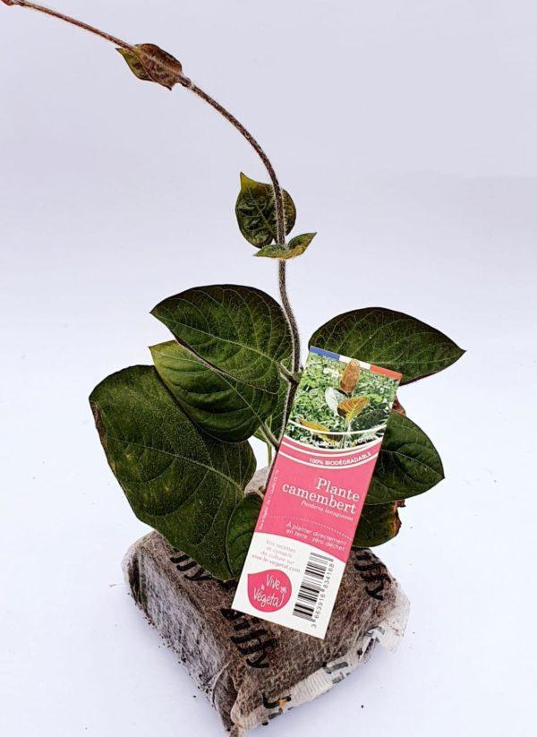 plante camembert