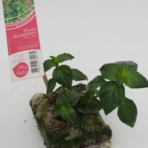 plante champignon