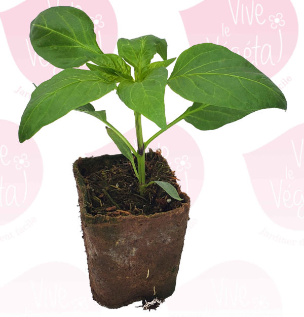 plant de poivron doux en pot biodégradable de 10cm
