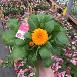 souci fleur orange