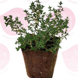 plant de thym en pot biodégradable de 10cm