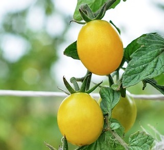 tomate gold nuggets
