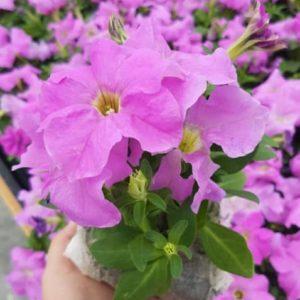 Pétunia rose tritunia