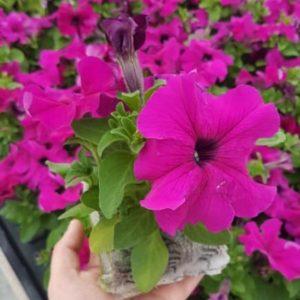 Pétunia violet tritunia