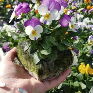 violat cornuta blanche violette