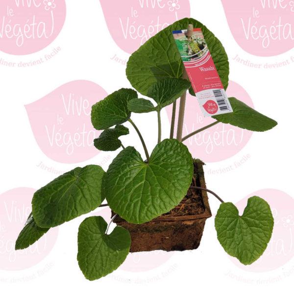 plant de wasabi en pot de 10cm 100% biodégradable