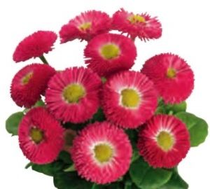 Bellis Perennis Rose speedstar