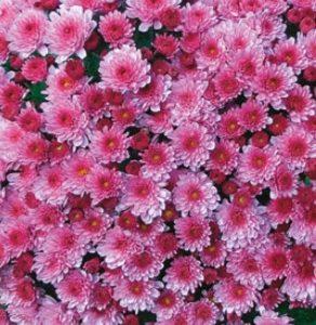 Chrysanthème rose