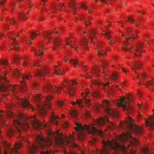 Chrysanthème rouge