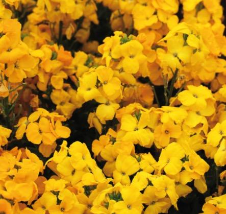 giroflée ravenelle jaune