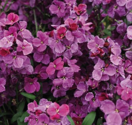 giroflée ravenelle violette
